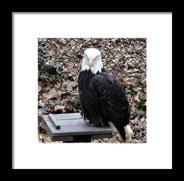 Animal Framed Print featuring the photograph A Bald Eagle by Eva Thomas