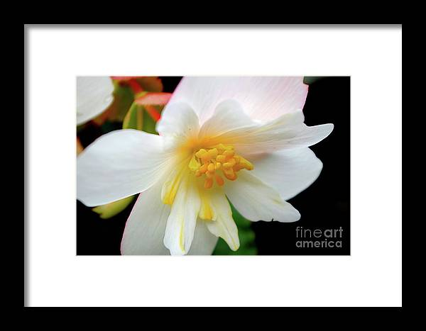Begonia Framed Print featuring the photograph A Beautiful Heart 4 by Victor K