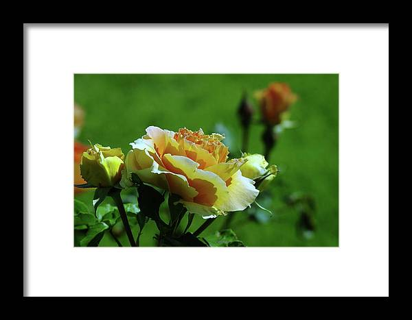 Roses Framed Print featuring the photograph A Benton City Rose by Jeff Swan
