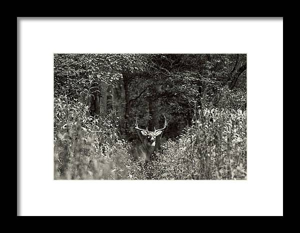 Black And White Framed Print featuring the photograph A Big Buck In Rut by John Harmon