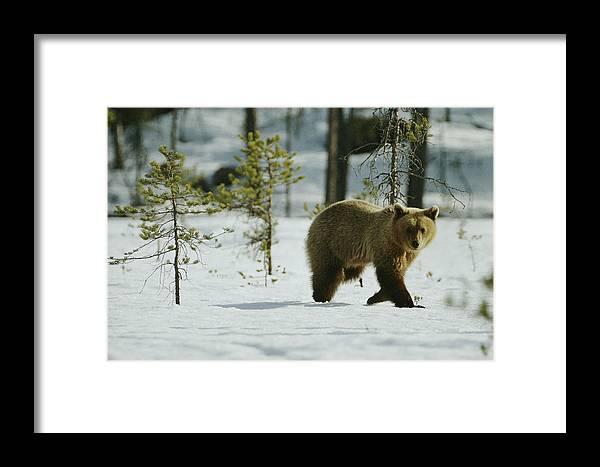 Animals Framed Print featuring the photograph A Brown Bear Ursus Arctos Walks by Mattias Klum