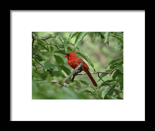 Red Framed Print featuring the photograph A Cardinal Day by Kim