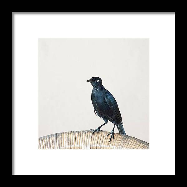 Caribgrackle Framed Print featuring the photograph A Carib Grackle (quiscalus Lugubris) On by John Edwards