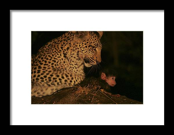 Okavango Delta Framed Print featuring the photograph A Day-old Baboon Befriends A Young by Beverly Joubert