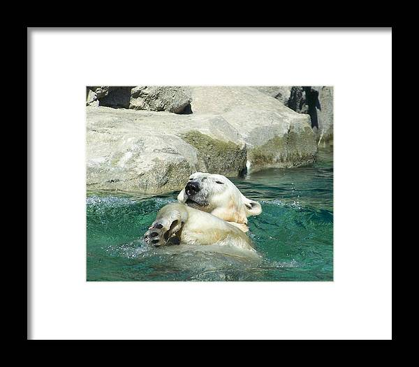 Polar Bear Framed Print featuring the photograph A Dip In The Pool by Glenna Oliver