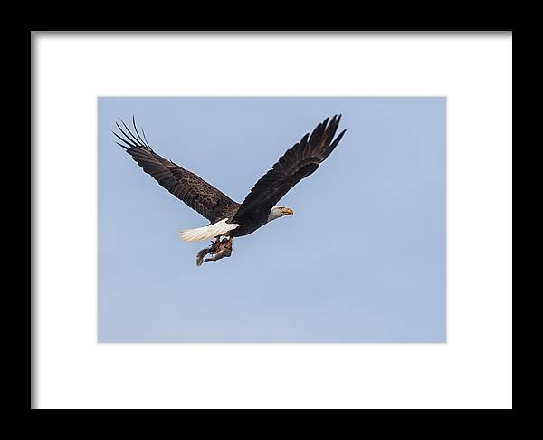 Bald Eagle Framed Print featuring the photograph A Flying Squirrel by Art Cole
