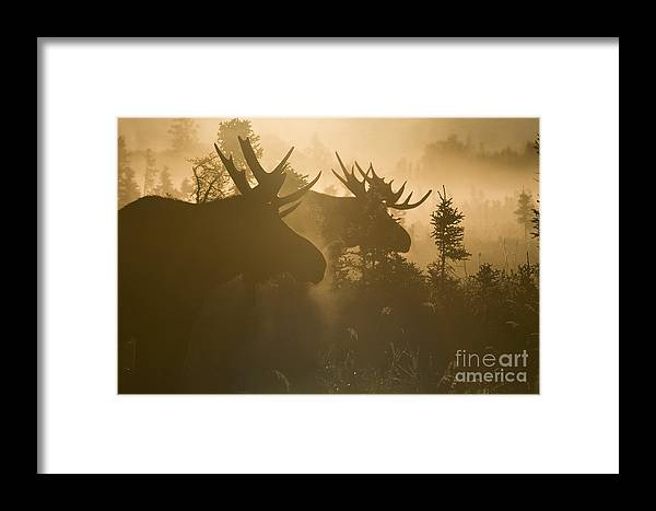 Moose Framed Print featuring the photograph A Foggy Morning by Tim Grams