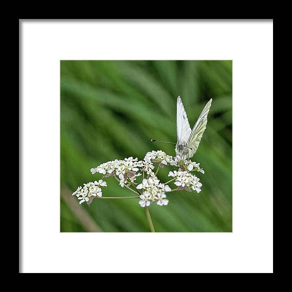 Insectsofinstagram Framed Print featuring the photograph A Green-veined White (pieris Napi) by John Edwards