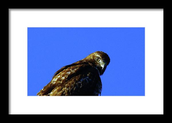 Hawks Framed Print featuring the photograph A Hawk Looking Back by Jeff Swan