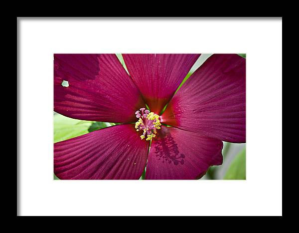Hibiscus Framed Print featuring the photograph A Hole In One by Teresa Mucha