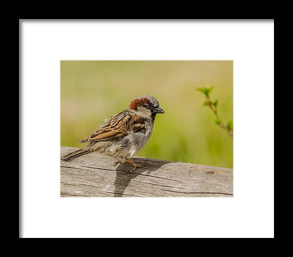 House Sparrow Framed Print featuring the photograph A House Sparrow by Yeates Photography