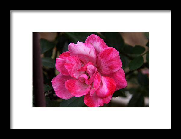 Floral Framed Print featuring the photograph A Knockout Pink by Paul Anderson