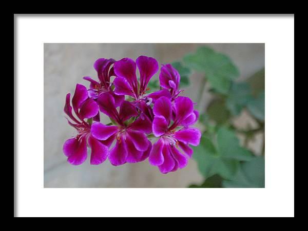 Magenta Flower Framed Print featuring the photograph A Magenta Flower by Susan Heller
