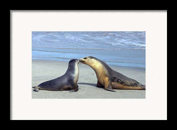 Sea Lion Framed Print featuring the photograph A Mothers Love by Mike Dawson