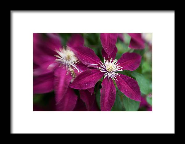 Georgia Photographer Framed Print featuring the photograph A Pair Of Clematis Flowers by Sandy Belk