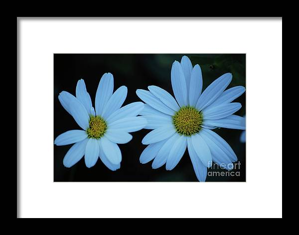 Daisy Framed Print featuring the photograph A Pair Of Daisies by Lori Tambakis