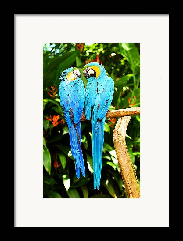 Bird Framed Print featuring the photograph A Pair Of Parrots by Marilyn Hunt