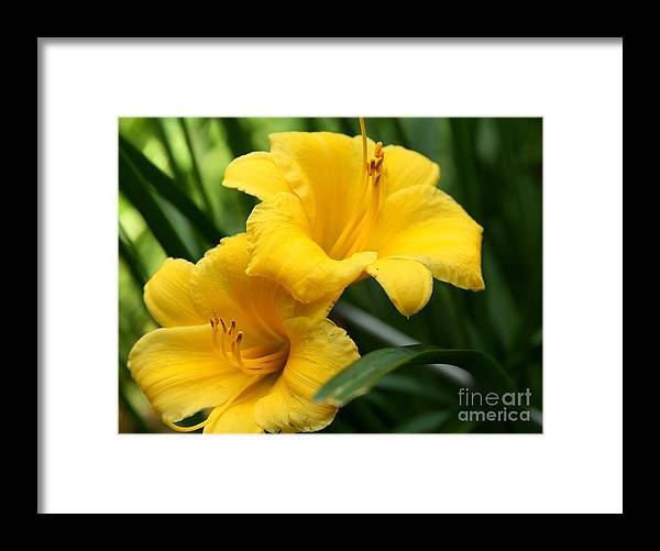 Flower Framed Print featuring the painting A Pair Of Yellow Day Lilies by Freda Sbordoni