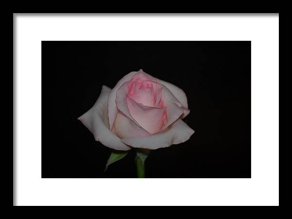 Rose Framed Print featuring the photograph A Pink Rose by Susan Heller