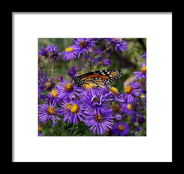 Butterfly Framed Print featuring the photograph A Rest Above by Debbie May