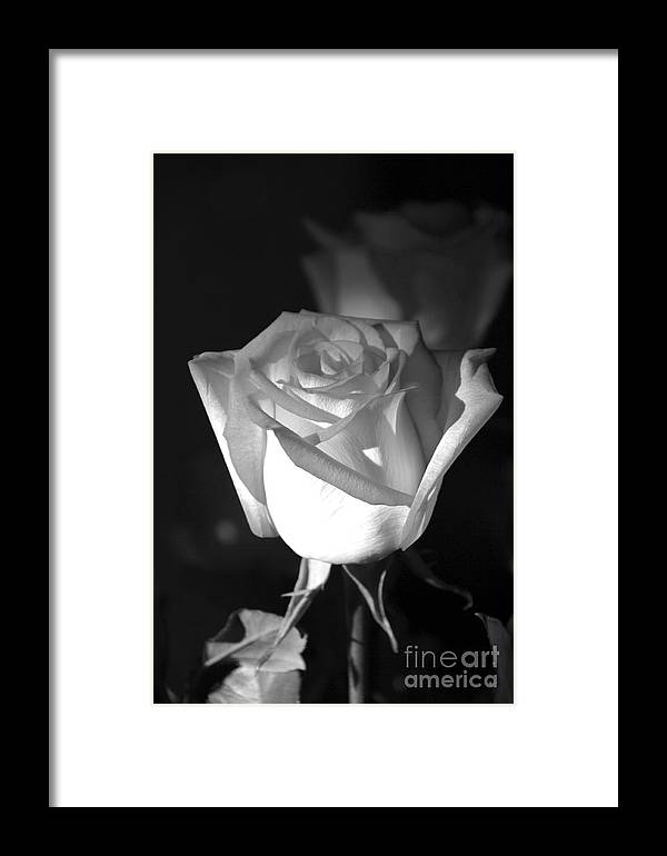 Rose Framed Print featuring the photograph A Rose by Kenneth Hess