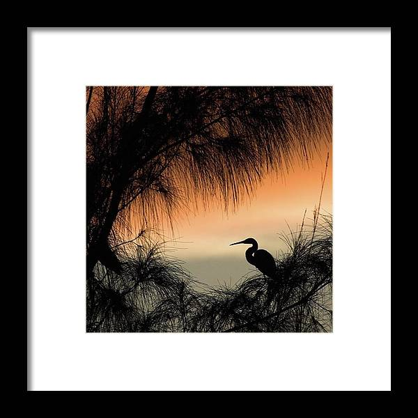 Egret Framed Print featuring the photograph A Snowy Egret (egretta Thula) Settling by John Edwards