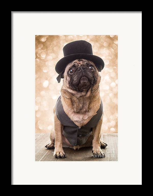 Pug Framed Print featuring the photograph A Star Is Born - Dog Groom by Edward Fielding