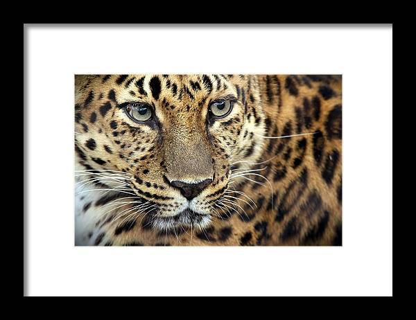 Amur Leopard Framed Print featuring the photograph A Thing Of Beauty by Christopher Miles Carter