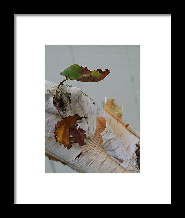Birch Framed Print featuring the photograph A Touch Of Fall by Gale Cochran-Smith