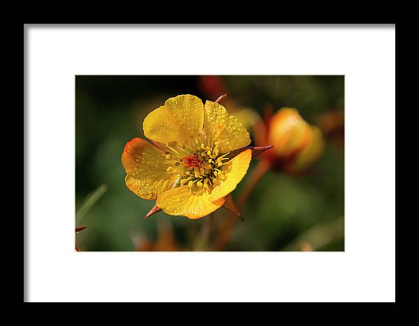Yellow Flower Framed Print featuring the photograph A Touch Of Red by Susan Wright