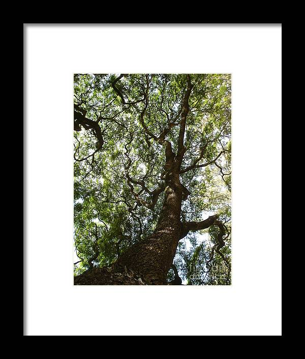 Monkey Pod Tree Framed Print featuring the photograph A Tree by Chandelle Hazen