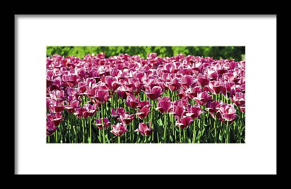 Flower Framed Print featuring the photograph A Tulip Arrangement by Levin Rodriguez