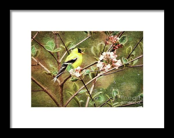 Goldfinch Framed Print featuring the photograph A Vision Of Spring by Tina LeCour