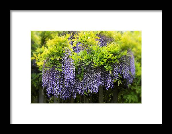 Wisteria Framed Print featuring the photograph A Wealth Of Wisteria by Jessica Jenney