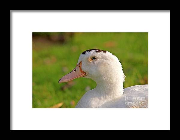 Psi Framed Print featuring the photograph A White Duck, Side View by Ofer Zilberstein