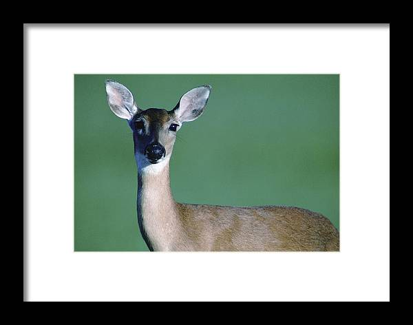 White-tailed Deer Framed Print featuring the photograph A White-tailed Deer On The Prairie by Joel Sartore