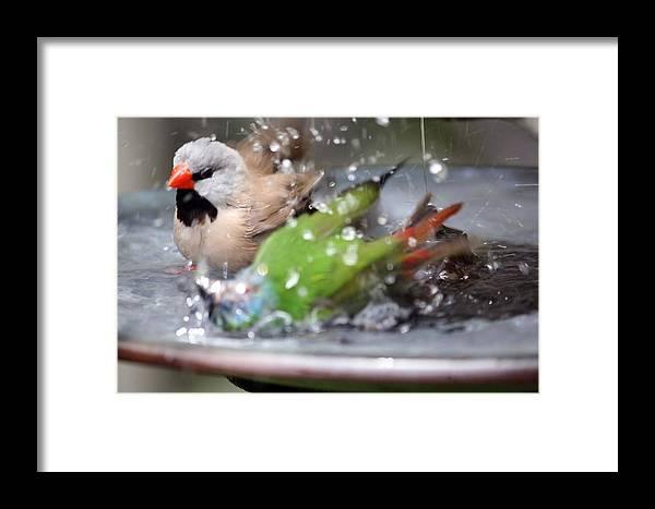 Bird Bathing Framed Print featuring the photograph A Wondrous Bath by Andrea OConnell