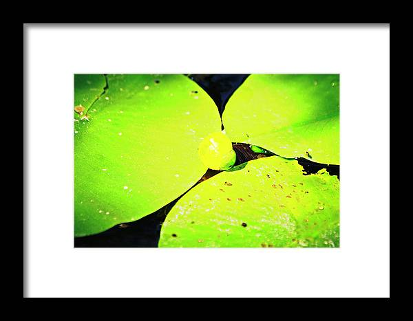 A Framed Print featuring the photograph A Yellow Bud Of Waterlily by HazelPhoto