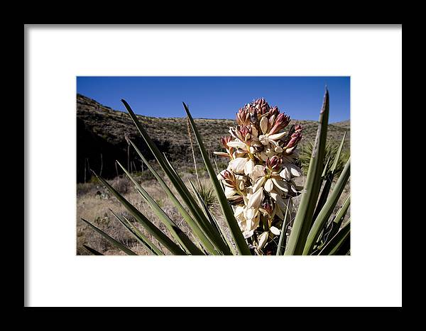 Carlsbad Caverns National Park Framed Print featuring the photograph A Yucca Plant Blossoms In The Desert by Stephen St. John