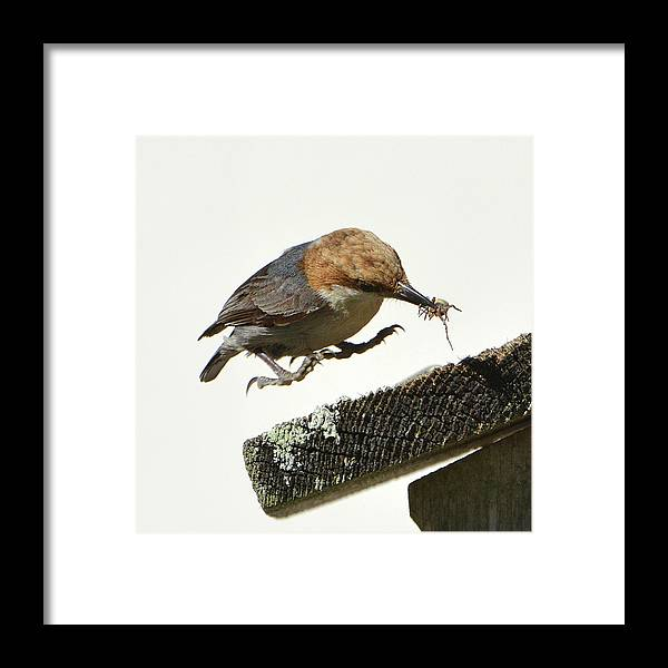Nuthatch Framed Print featuring the photograph About To Land by Jerry Griffin