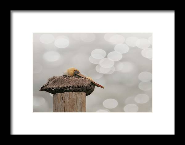 Pelican Framed Print featuring the photograph Above It All - Brown Pelican by Mitch Spence