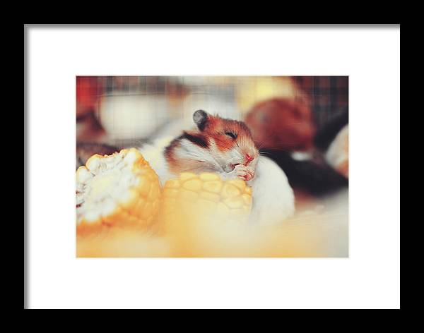 Adorable Framed Print featuring the photograph Adorable Tiny Hamster Pet Feasting On Corn by Srdjan Kirtic