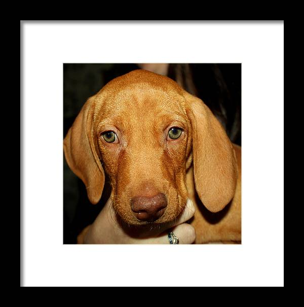 Adorable Framed Print featuring the photograph Adorable Vizsla Puppy by Anita Hiltz