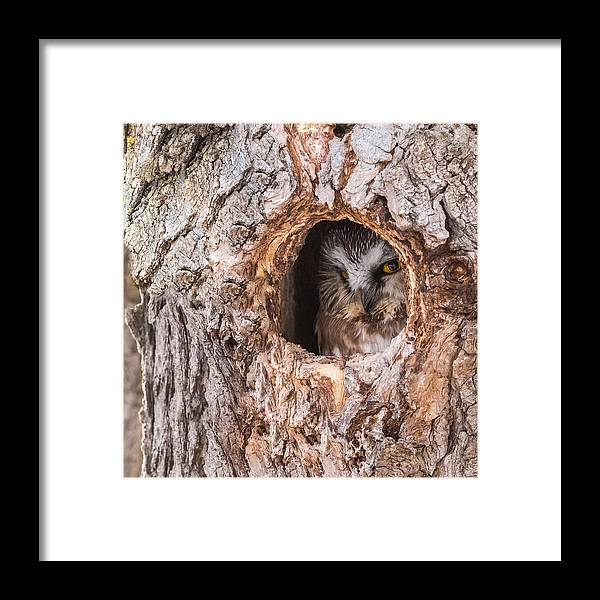Adult Saw-whet Owl Framed Print featuring the photograph Adult Saw-whet Owl by Yeates Photography