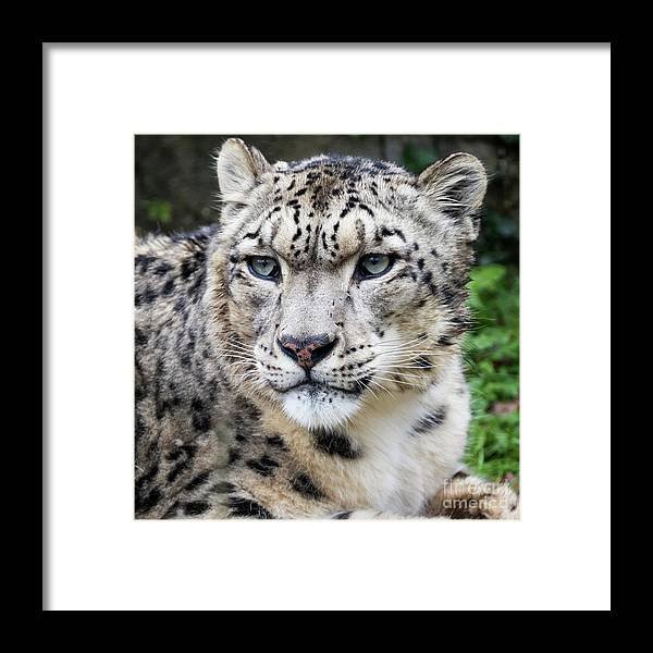 Leopard Framed Print featuring the photograph Adult Snow Leopard Portrait by Jane Rix