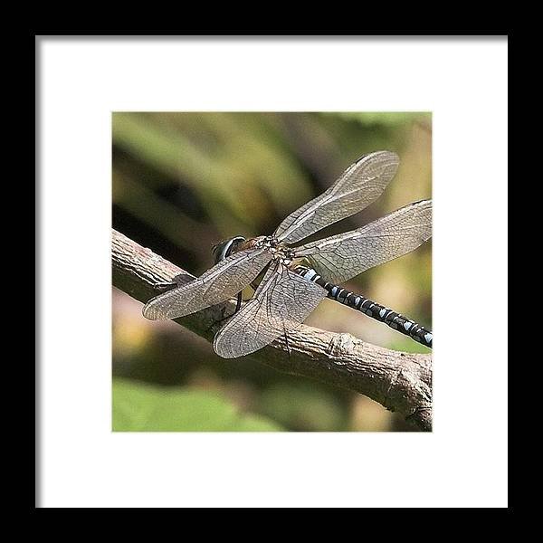 Dragonfly Framed Print featuring the photograph Aeshna Juncea - Common Hawker taken At by John Edwards