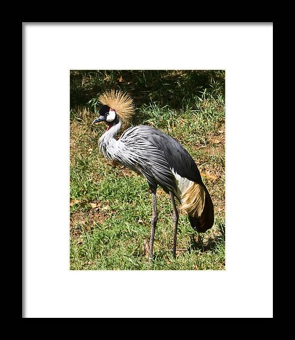 African Framed Print featuring the photograph African Crowned Crane Poising by Douglas Barnett