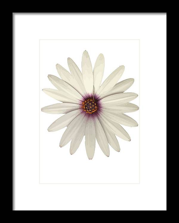 Osteospermum Framed Print featuring the photograph African Daisy With White Petals by Taiche Acrylic Art