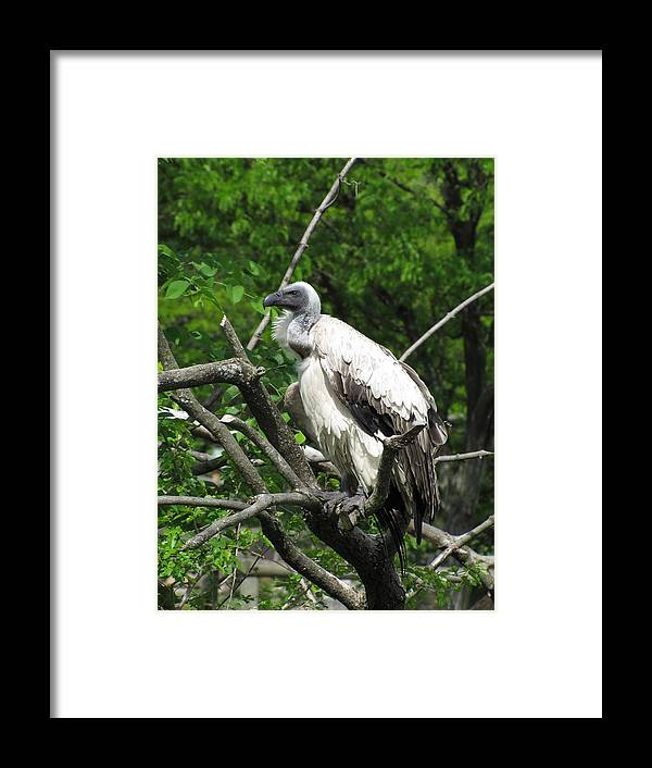Vulture Framed Print featuring the photograph African Vulture by George Jones