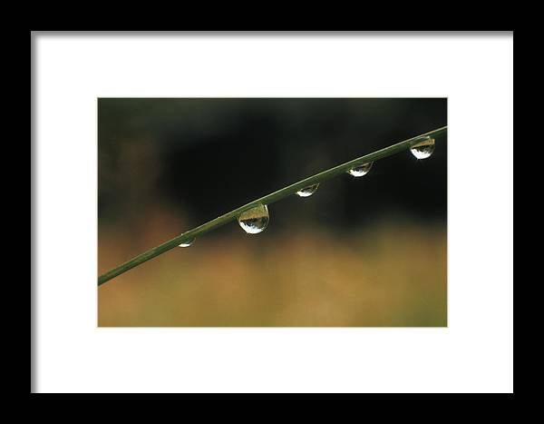 Raindrops Blade Of Grass Refraction Framed Print featuring the photograph After A Rain by Ken Barber